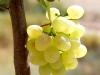 خوشه زيباي انگور