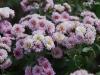 گل هاي ريز